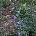 Scutellaria galericulata-Scutellaire casquée-Fleurs-20170907.jpg