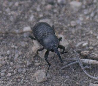 Scyphophorus - Image: Scyphophorus P1470311a