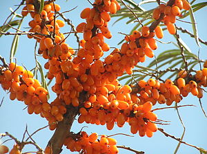 Sea buckthorn berries from Russia