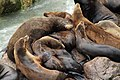 Sea lion nursery (6826204136).jpg