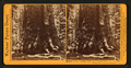 Section of the Grizzly Giant, Mariposa Grove, Mariposa County, Cal, by Watkins, Carleton E., 1829-1916.png