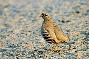 See-see partridge - Image: See see Partridge, Ammoperdix griseogularis (5829563744)