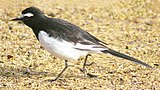 Very similar to: White Wagtail.
