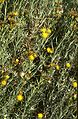 Senecio patagonicus 2.jpg