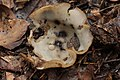 Sengbachtalsperre 29.07.2017 Hairy Fairy Cup - Humaria hemisphaerica (37018133991).jpg