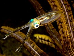 Sepioteuthis lessoniana (Bigfin reef squid).jpg