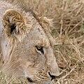 Serengeti Loewin3.jpg