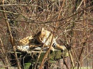 File:Serval.ogv