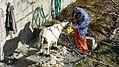 SheepShearingValais.jpg