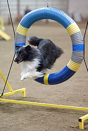 Though the most common colours are sable and blue merle, Shelties come in several other coat colours, such as this bi-black colour