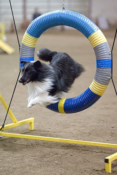 Výcvik agility sa teší čoraz väčšej popularite