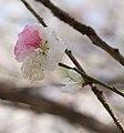 Shinamomo (peach tree flower) (3612908118).jpg