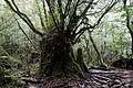 Shiratani Unsuikyo, Yakushima island (4196057333).jpg