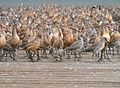 Shorebirds 01.jpg
