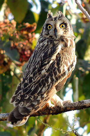 Short-eared owl - Short-eared owl (Asio flammeus) in Mangaon, Maharashtra, India