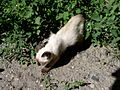 Siamese kitten-1.jpg