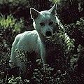 Siberian husky - Lobo.jpg