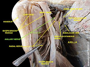 Axillary nerve - Image: Slide 12dj