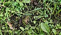Small green frog hidden in underbrush.jpg