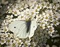 Small white (51151150810).jpg