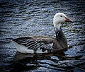 Snow Goose in Tampa (explored) - Flickr - trishhartmann.jpg