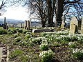 Snowdrops Brede Churchyard East Sussex - geograph.org.uk - 133769.jpg