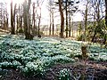 Snowdrops in the wood - geograph.org.uk - 596068.jpg