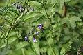 Solanum dulcamara-1.jpg