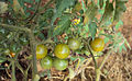 Solanum lycopersicum cerasiforme 02.jpg