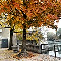 Solothurn - Tree with yellow leaves.jpg