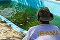 Soltura de peixe-boi, Amapá (48997100883).jpg