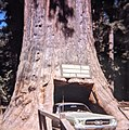 Someone going through drive through redwood tree on California Coast, 1967. I think this tree has since died. (50932920068).jpg