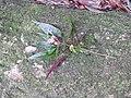 Sonerila tinevelliensis-1-chemungi hill-kerala-India.jpg