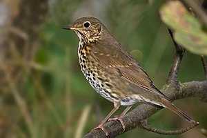 Song Thrush Turdus philomelos.jpg
