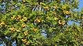 Sorbus domestica 9396.jpg