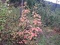 Sorbus scopulina (8088058505).jpg