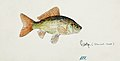 Southern Pacific fishes illustrations by F.E. Clarke 107.jpg