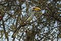 Southern Yellow-bill Hornbill - Etosha 0006 (15786015264).jpg