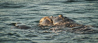 Southern right whale - Mother and calf in Hermanus