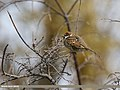 Spanish Sparrow (Passer hispaniolensis) (32790448915).jpg