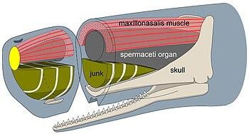 Whale Organs Sperm