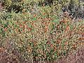 Sphaeralcea ambigua 1.jpg