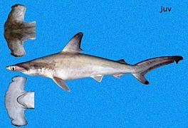 tiburón martillo común  joven