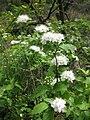 Spiraea chamaedryfolia var. pilosa 1.JPG