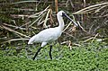 Spoonbill Ibis Bells Creek-1 (4839394129).jpg