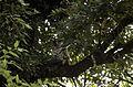 Spot-bellied eagle-owl (Bubo nipalensis) JEG2208.jpg