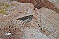 Spotted Sandpiper (5975057606).jpg