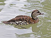 Spotted Whistling Duck RWD3.jpg