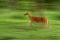 Spotted deer DSC 4705.jpg