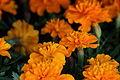Spring-marigold-flowers - West Virginia - ForestWander.jpg